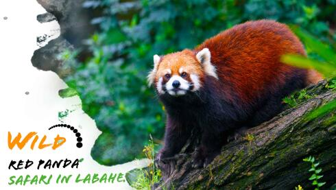 Wild Red Panda Safari in Labahe