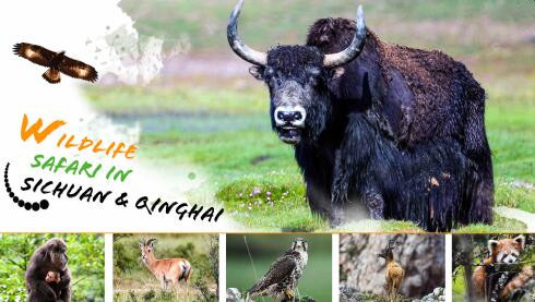 Wildlife Safari in Sichuan & Qinghai